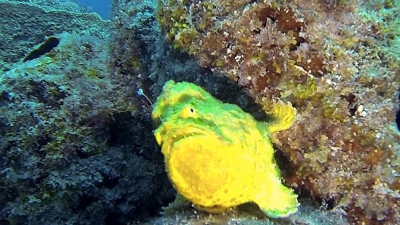 Frogfish footage